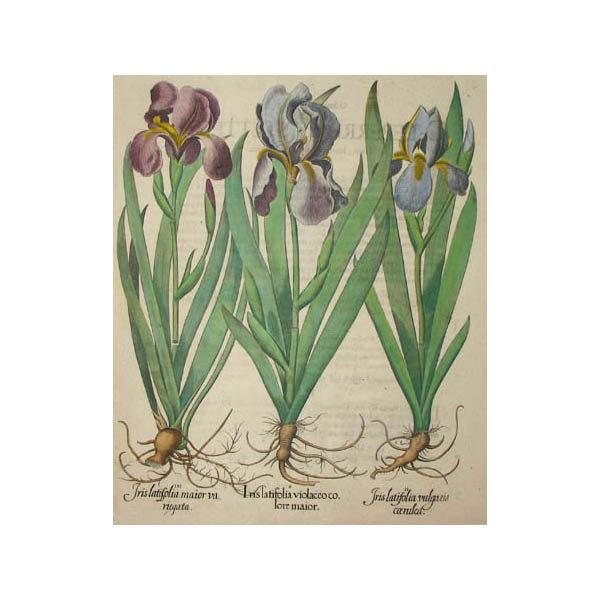 Iris latifolia violaceo colore maior