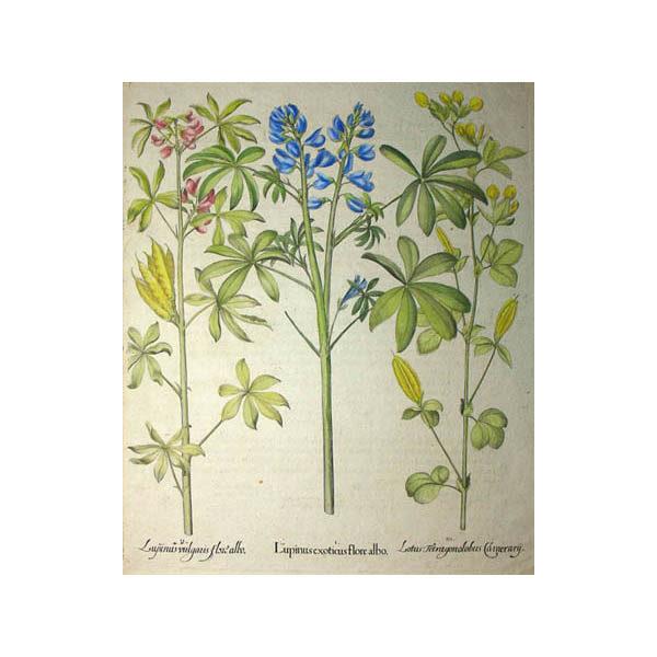 Lupinus exoticus flore albo, Lupinus vulgaris flore albo, Lotus Tetragonolobus Camerary [Lupines/ Pea]
