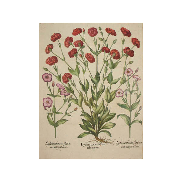 Lychnis Coronaria Flore Rubro Pleno [Rose Campion]