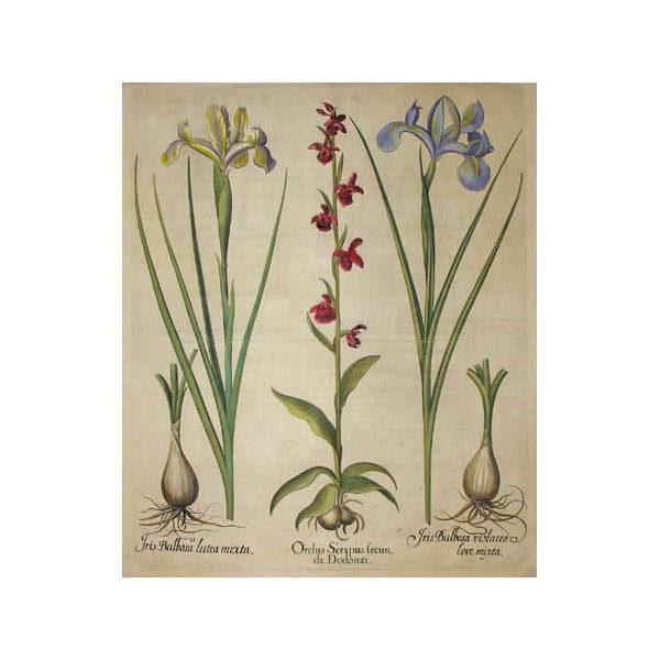 Orchis Serapias secun da Dodonaei [Orchid]