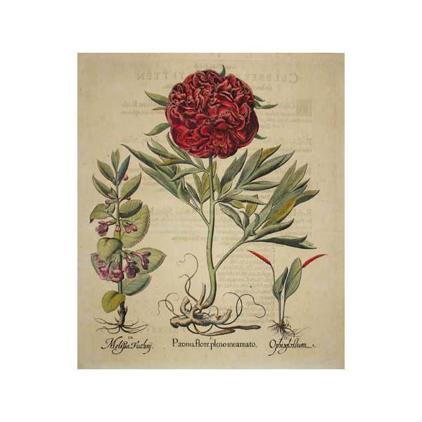 Paeonia flore pleno incarnato [Peony]