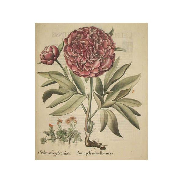 Paeonia polyanthus flore rubro [Peony]