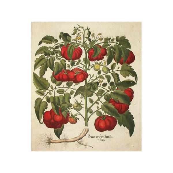 Poma amoris fructu rubro [Tomato]
