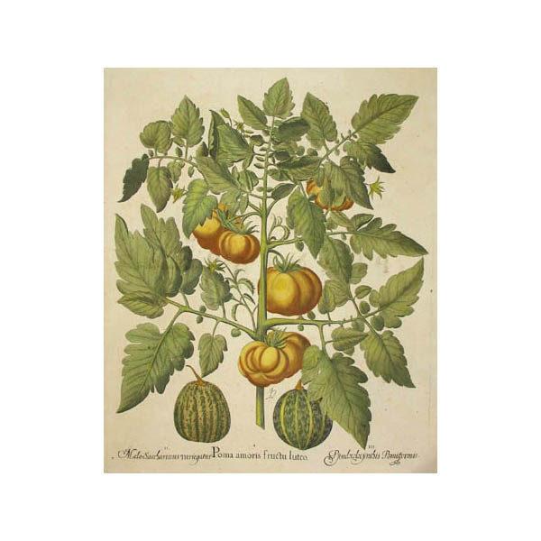 Poma amoris fructu luteo [Tomato]
