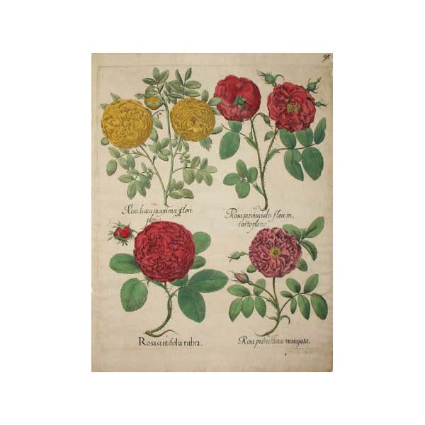 Rosa centifolia rubra [Rose]