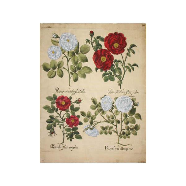 Rosa Flore Albo Pleno [Rose]