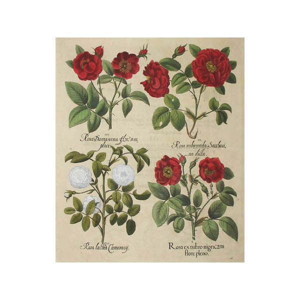 Rosa ex rubro nigricans flore pleno [Rose]