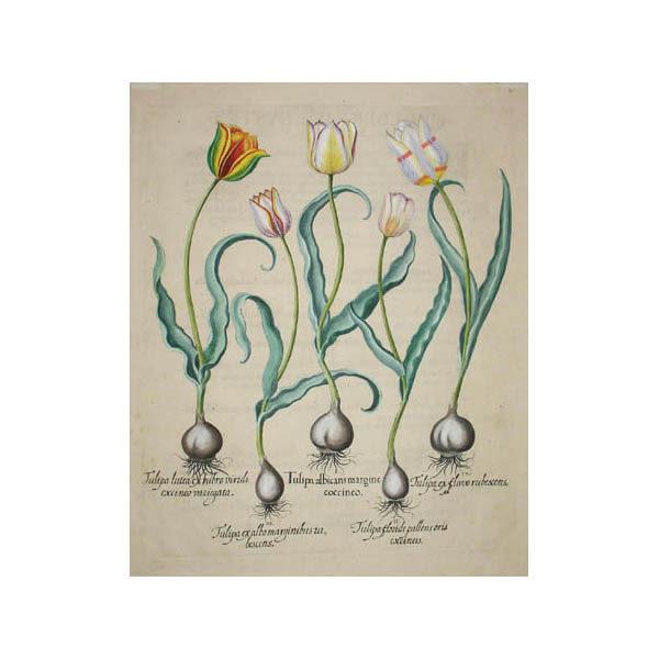 Tulipa Albicans Margine Coccineo [Tulip]