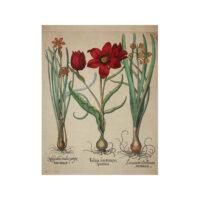 Tulipa Serotina Polyanthos (Pl. 74) [Tulip]