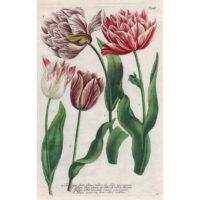 Weinmann, Plate 986, Tulips