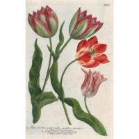 Weinmann Plate 987, Tulips