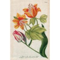 Weinmann Plate 997, Tulips