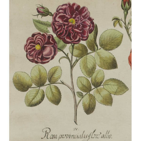 IV. Detail of Rosa provincialis flore albo