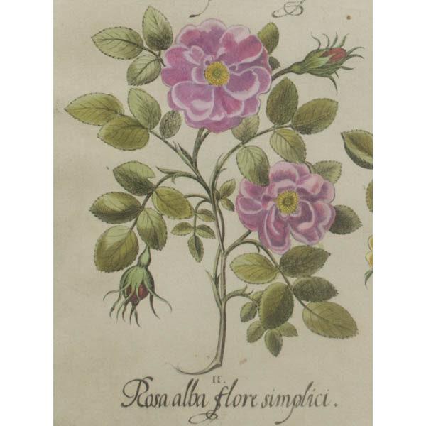 II. Detail of Rosa alba flore simplici