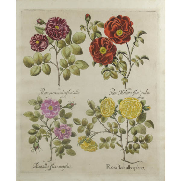 Besler Roses antique print