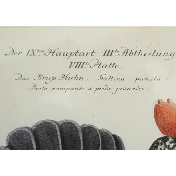 Das Krup Huhn, Gallina pumila, detail