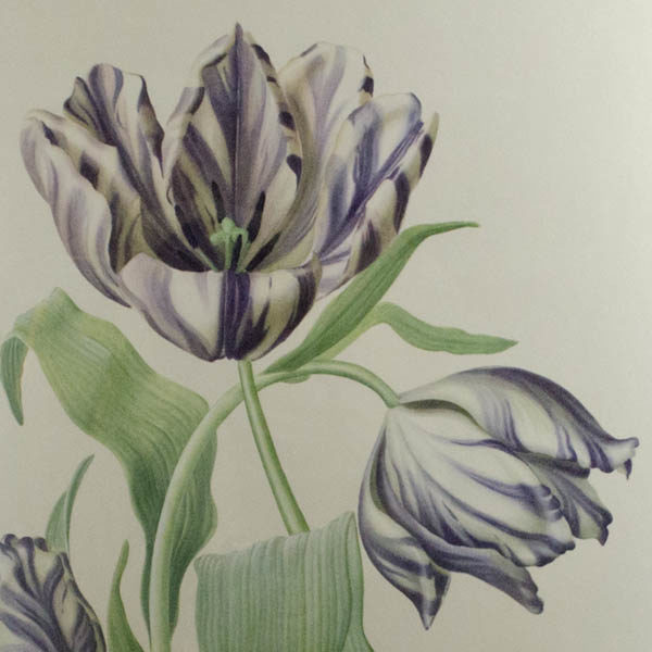Detail, purple and white tulip