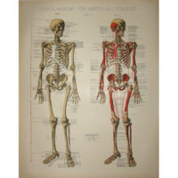 Skeletal Anatomy Print, Plate I