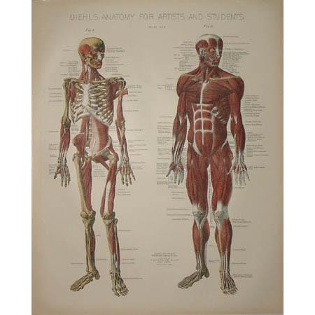 Musculature Anatomy Print, Plate II
