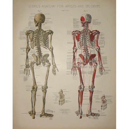 Skeletal Anatomy Print, Plate III