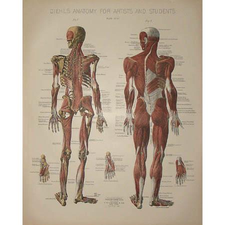 Musculature Anatomy Print, Plate IV