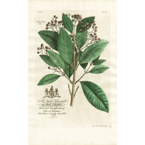 The Bay-berry-tree; Lat. Myrtus aborea aromatica. Full publication information: The Bay Berry Tree. Plate X.