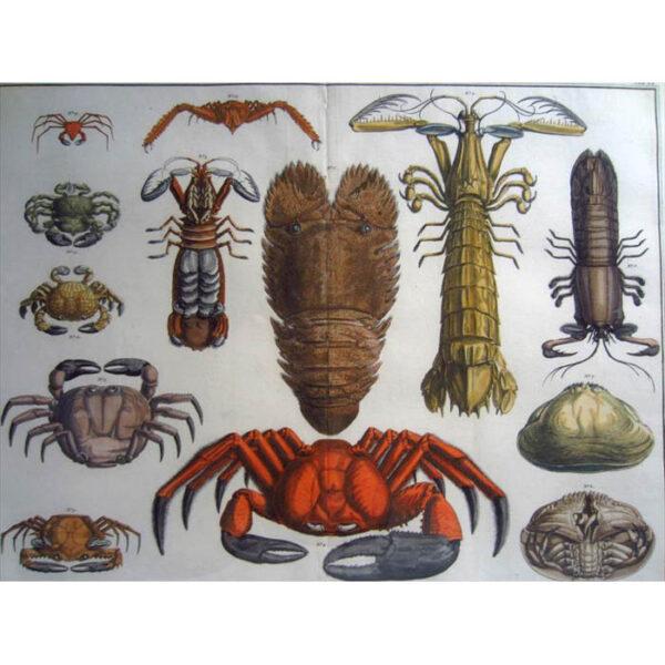 Seba Crabs Plate 20, Tab. XX