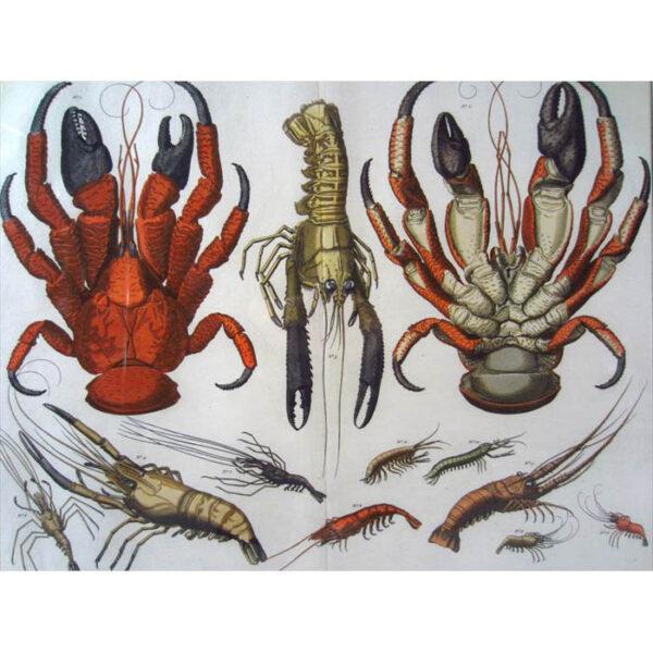 Seba Crabs Plate 21, Tab. XXI