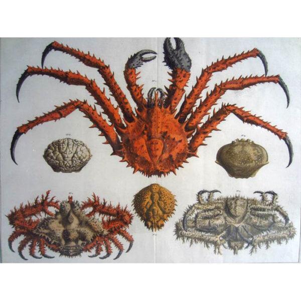 Seba Crabs Plate 22, Tab. XXII