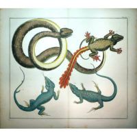 Seba Lizards and Snake Tab. CIII [Plate 103]