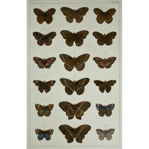 Albertus Seba, Butterflies, Plate 14