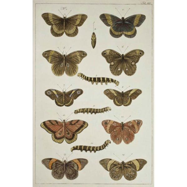 Albertus Seba, Butterflies and Caterpillars, Plate 15
