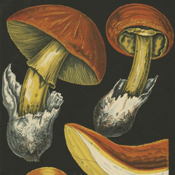 Agaricus Cäsareus (Scop.), Plate 1