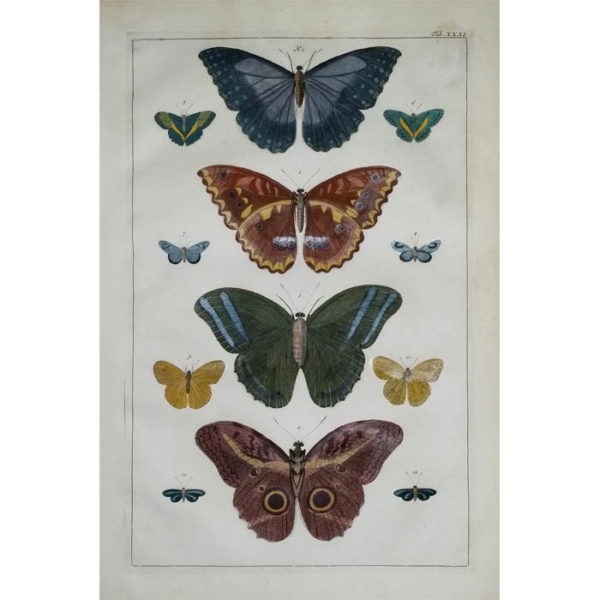 Seba Butterflies Plate 31