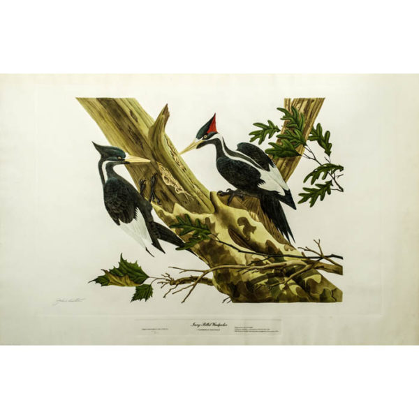 John Ruthven, Ivory-Billed Woodpecker, Campephilus Pincipalis