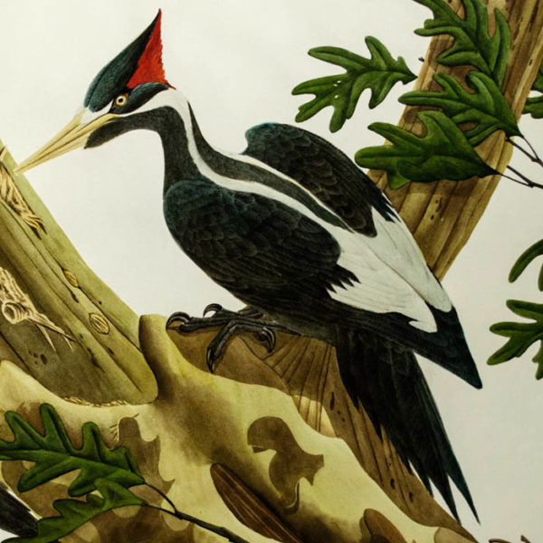 Ivory-Billed Woodpecker, Campephilus Pincipalis, detail
