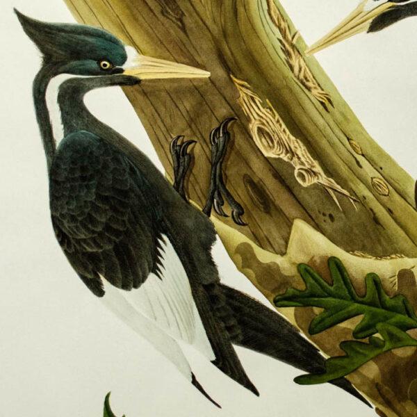 Ivory-Billed Woodpecker, Campephilus Pincipalis, detail