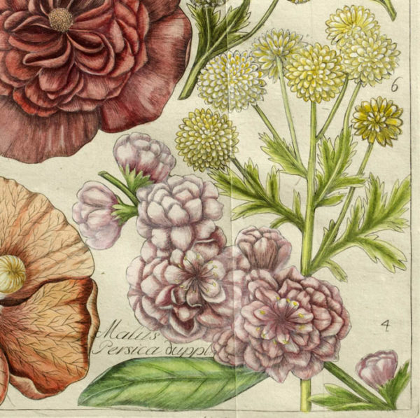 Malva, Matricaria, Malus Persica duppl., Plate 39, detail