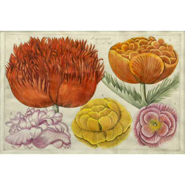Papaver, Plate 46 [Poppies]