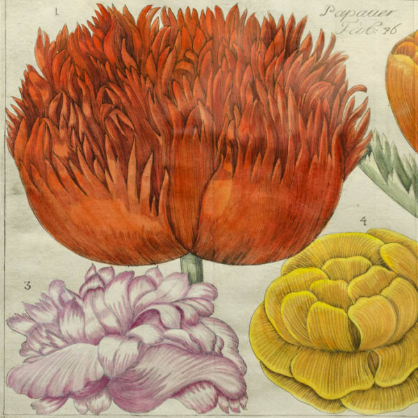 Papaver, Plate 46 [Poppies], detail