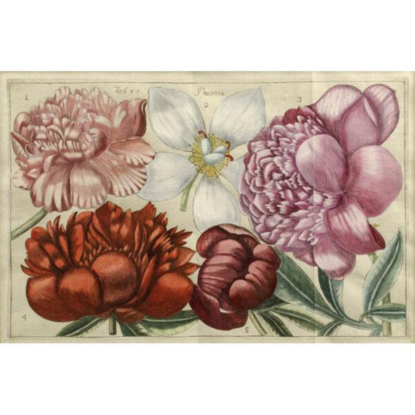 Paeonia, Plate 45 [Peonies]