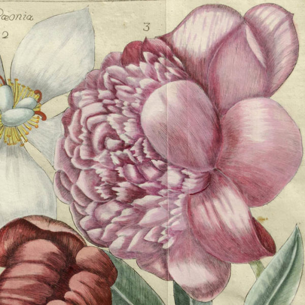 Paeonia, Plate 45 [Peonies], detail