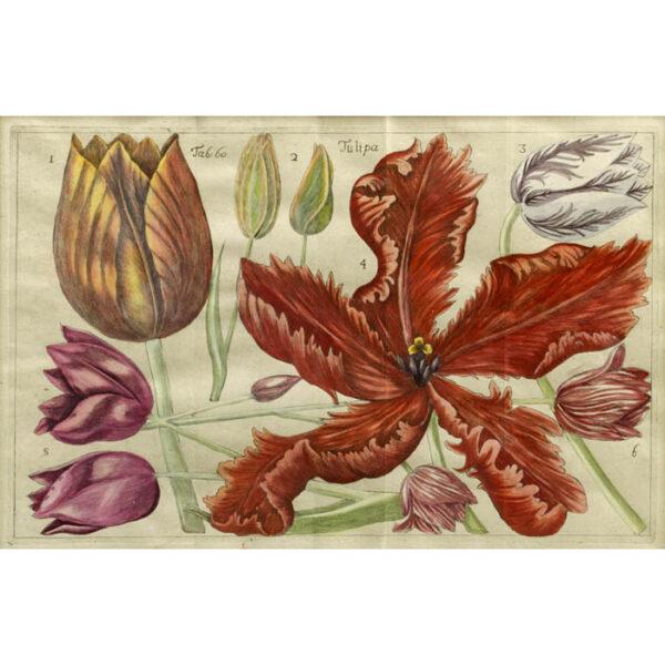 Tulipa, Plate 60 [Tulips]