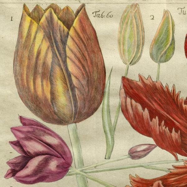 Tulipa, Plate 60 [Tulips], detail
