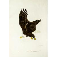 American Bald Eagle, Haliaetus leucocephalus