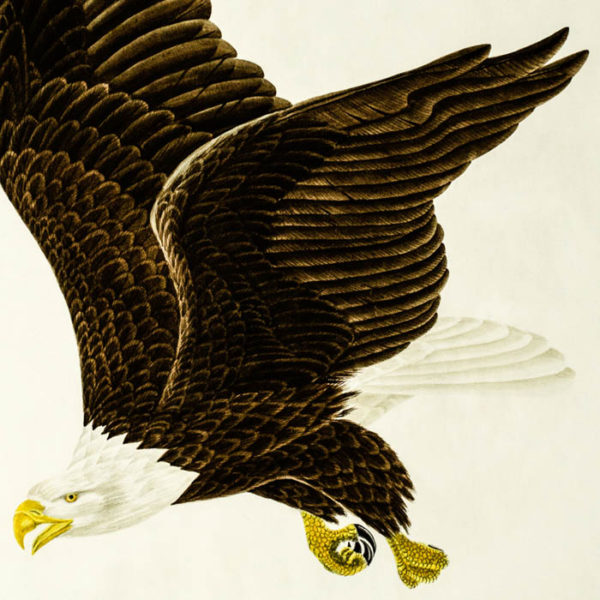 American Bald Eagle, detail