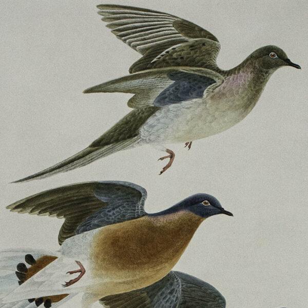 Passenger Pigeon, detail