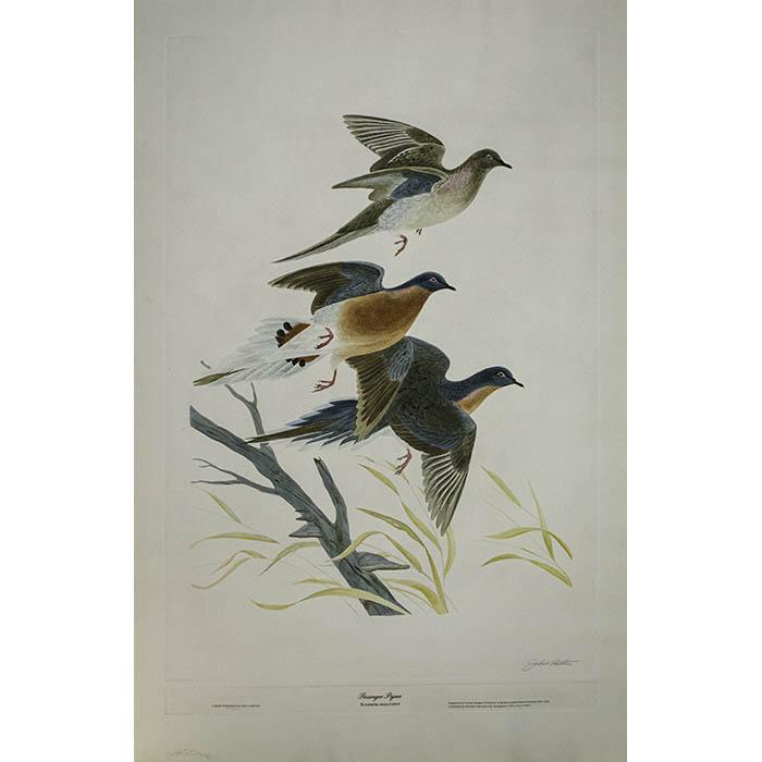 Passenger Pigeon, Ectopistes Migratorius