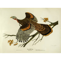 Eastern Wild Turkey, Meleagris gallopavo
