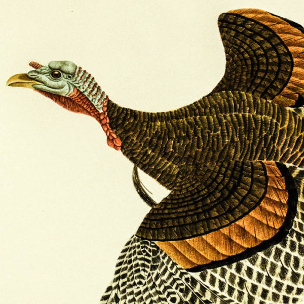 Eastern Wild Turkey, detail